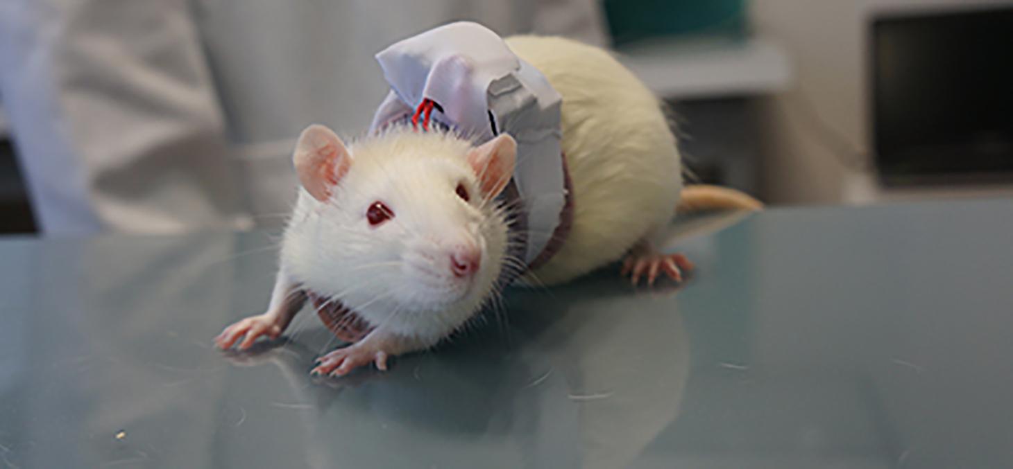 Un gilet connecté pour rats de laboratoire © Etisense