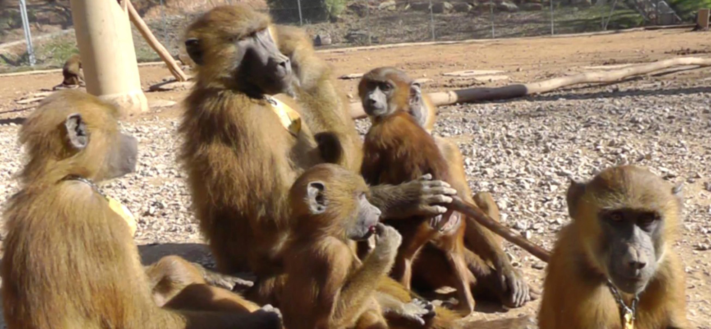 In situ image of the recorded baboons © Caralyn Kemp and Julie Gullstrand / Laboratory of Cognitive Psychology (CNRS/AMU).
