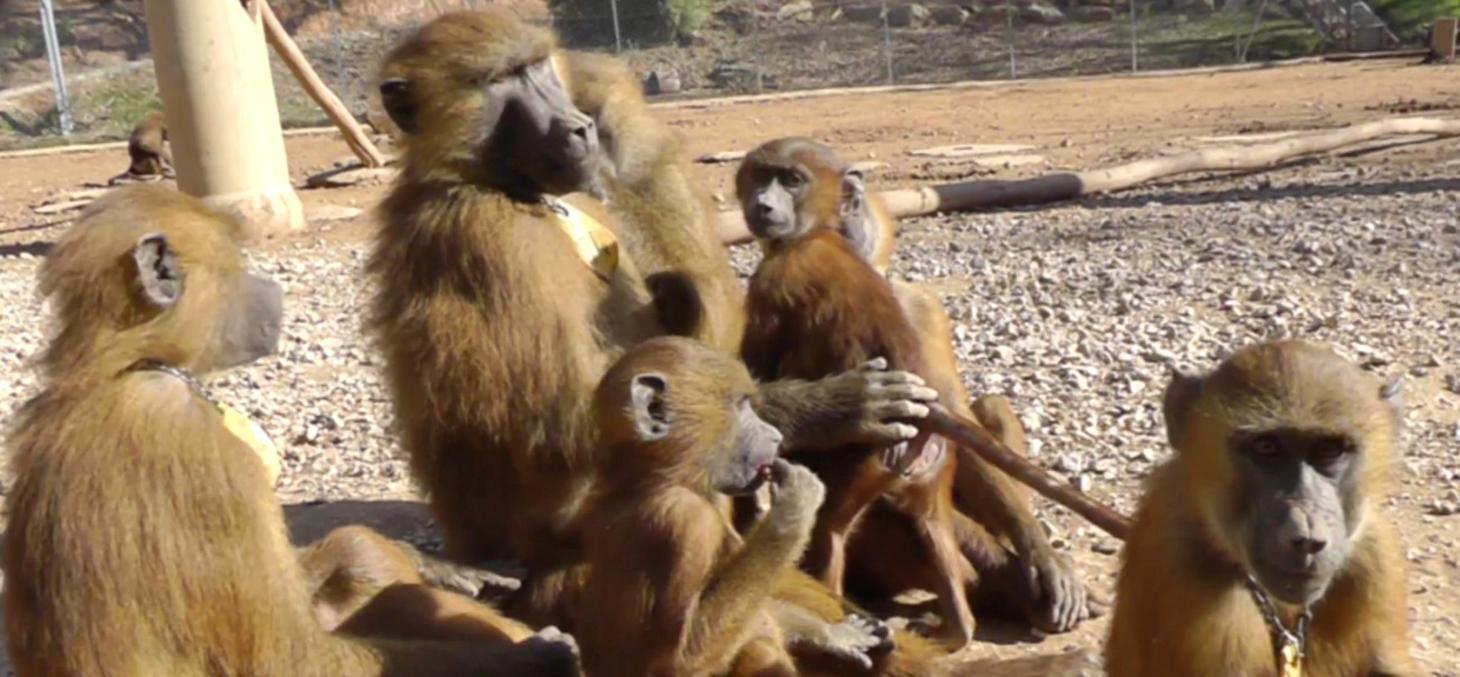 Image in situ des babouins enregistrés © Caralyn Kemp et Julie Gullstrand / Laboratoire de psychologie cognitive (CNRS/AMU)
