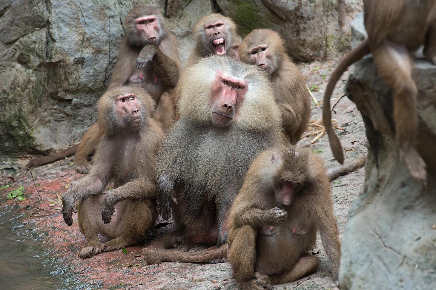 Un groupe de babouins © Shutterstock