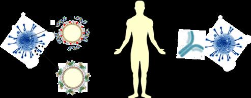 Des fragments du virus sont accrochés aux gouttelettes de lipide, qui une fois administrées, sont capturées par les cellules immunitaires qui vont produire des anticorps. Ces anticorps pourront protéger l'individu d'une infection par le virus. Bayon E, J.