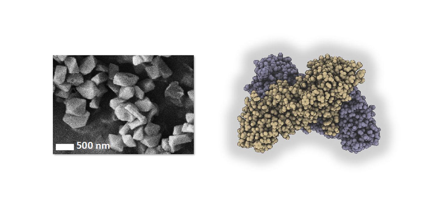 C'est à partir de ces cristaux (observés en microscopie électronique à balayage, à gauche) que la structure de la toxine BinAB a été résolue (schéma, à droite). © Mari Gingery (cliché de microscopie électronique, à gauche) / Jacques-Philippe Colletier (sc