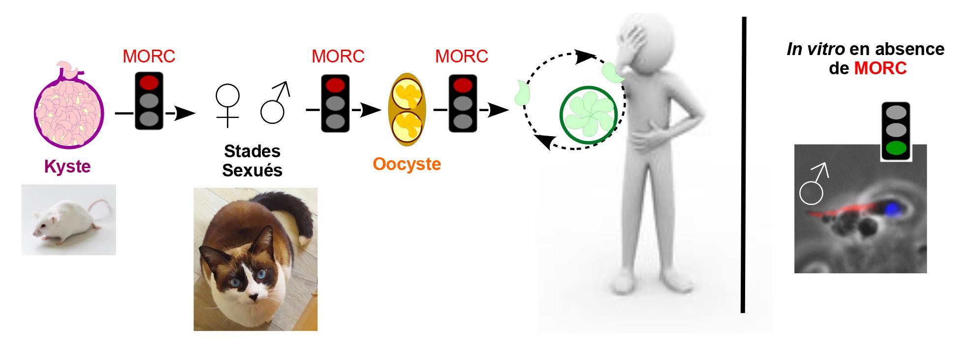 MORC régule le cycle de vie de Toxoplasma, entre Homme et Chat