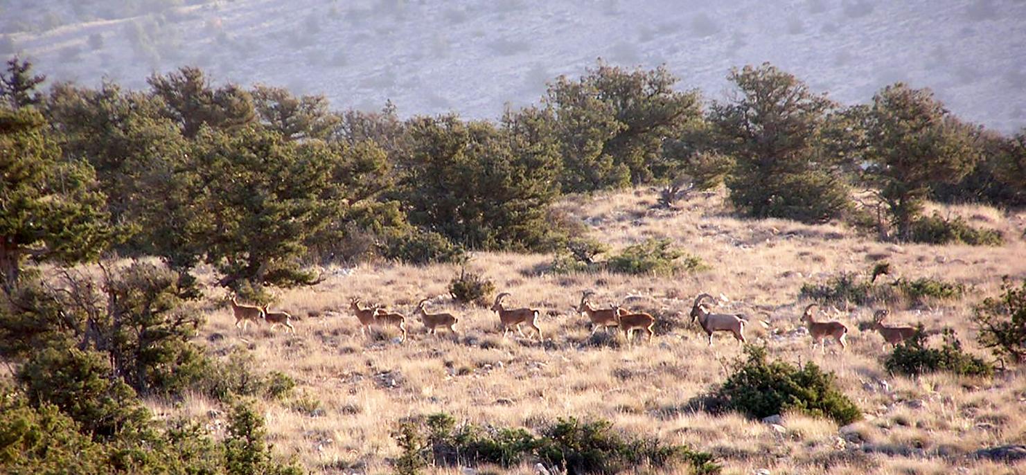 Harde d'aegagres (Parc National du Golestan, Iran) © H. Rezaei