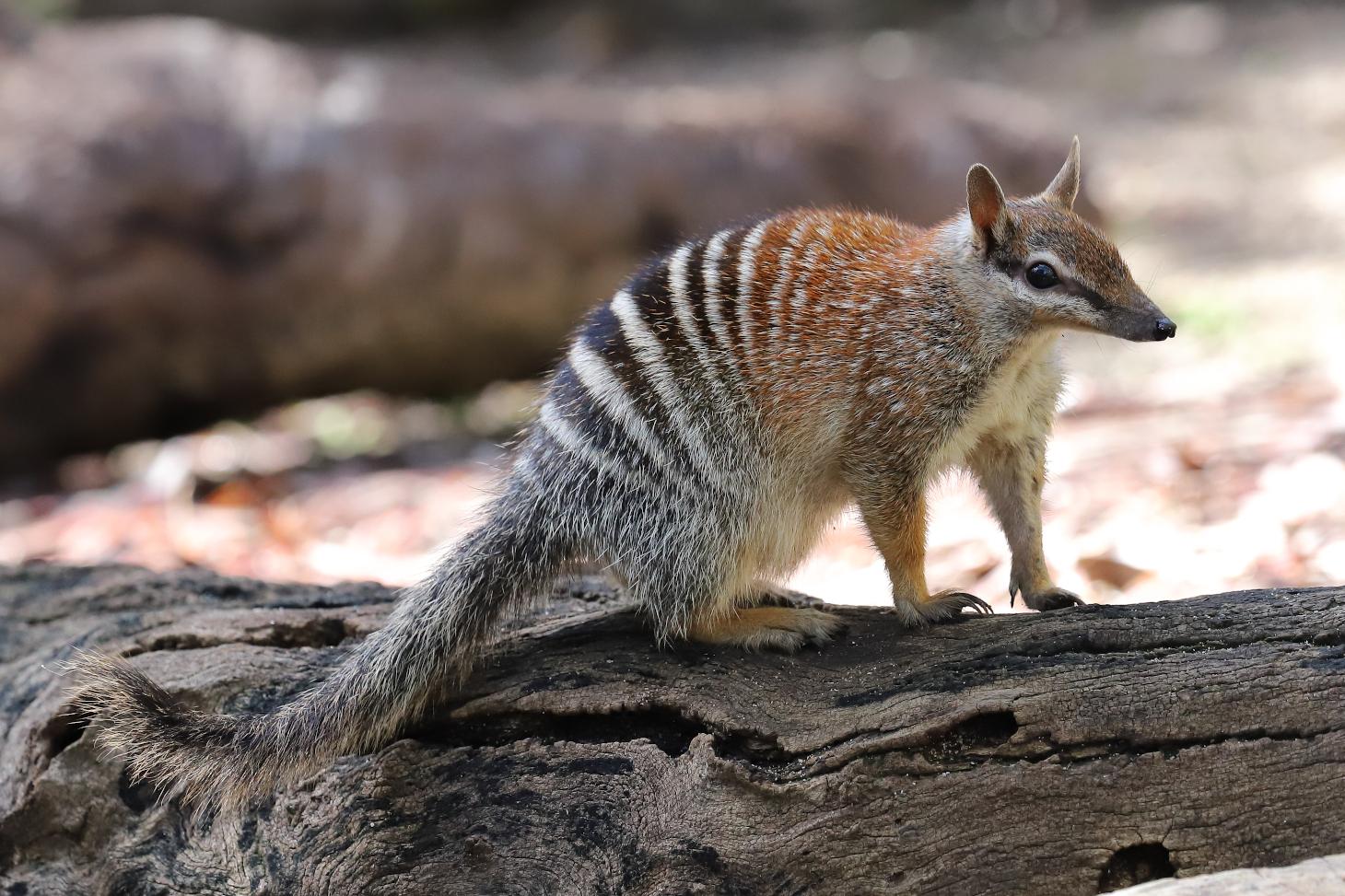 Le numbat, carnivore marsupial présent uniquement dans les bois d'eucalyptus du sud de l'Australie. Les prédictions estiment une réduction de son aire de répartition de 54 % à horizon 2040-2060. Shutterstock